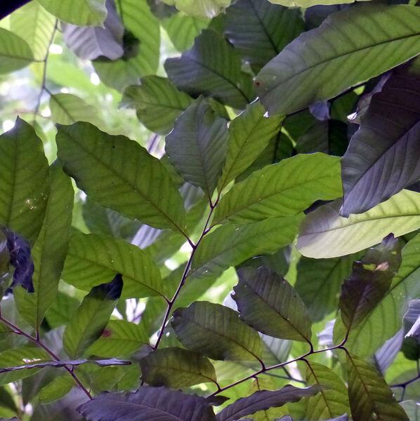 Artocarpus lacucha Buch.-Ham.