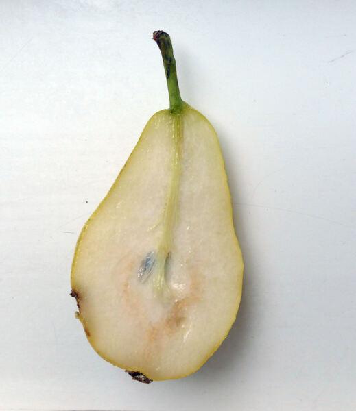 Pyrus communis L. 'Guyot'