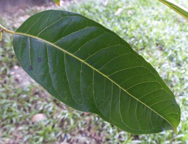 Syzygium cumini (L.) Skeels
