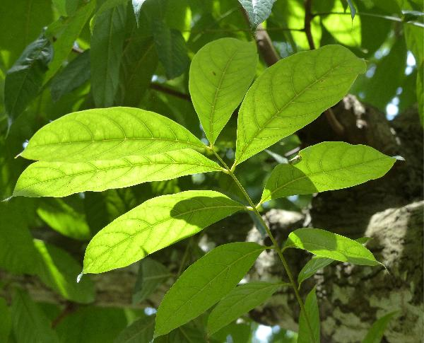 Swietenia macrophylla King