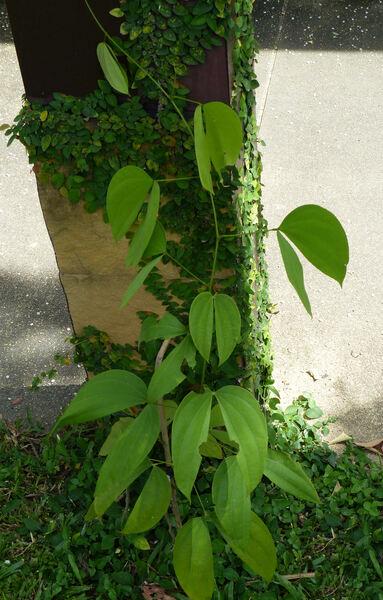Phanera sirindhorniae  (K. Larsen & S.S. Larsen) Mackinder & R. Clark