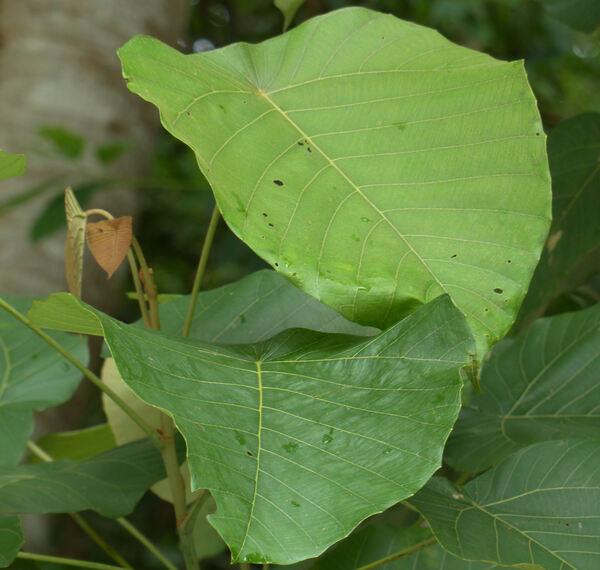 Macaranga denticulata (Blume) Müll. Arg.