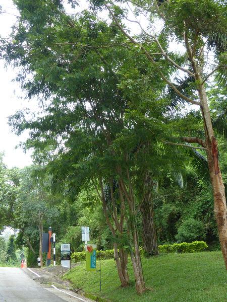 Phyllanthus emblica L.