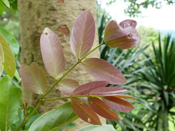 Xylia xylocarpa (Roxb.) Taub. var. kerrii (Craib & Hutch.) I.C. Nielsen