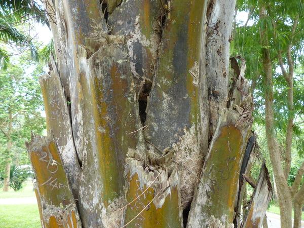 Elaeis guineensis Jacq.