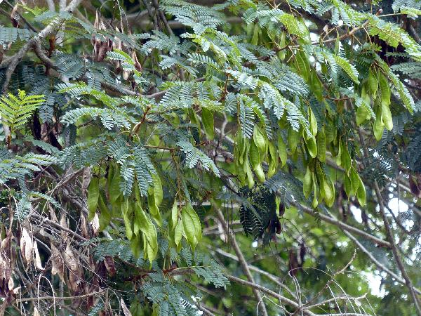 Peltophorum dasyrachis (Miq.) Kurz