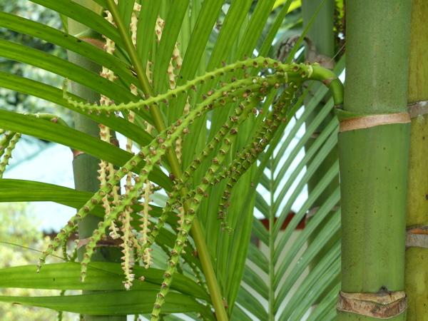 Ptychosperma macarthurii (H.Wendl. ex H.J.Veitch) H.Wendl. ex Hook.f.
