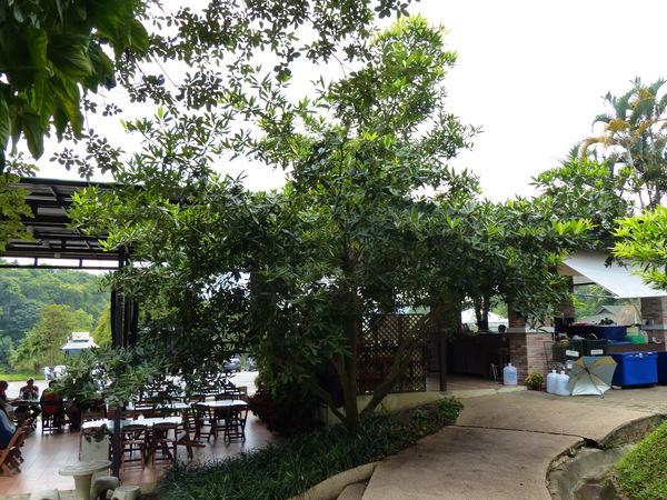 Elaeocarpus floribundus Blume