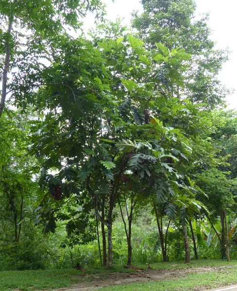 Artocarpus sp.