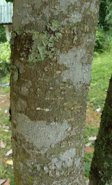 Magnolia siamensis (Dandy) H. Keng