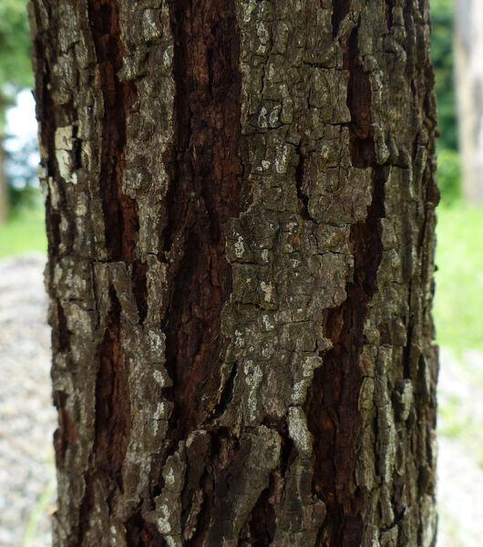 Cotylelobium lanceolatum Craib
