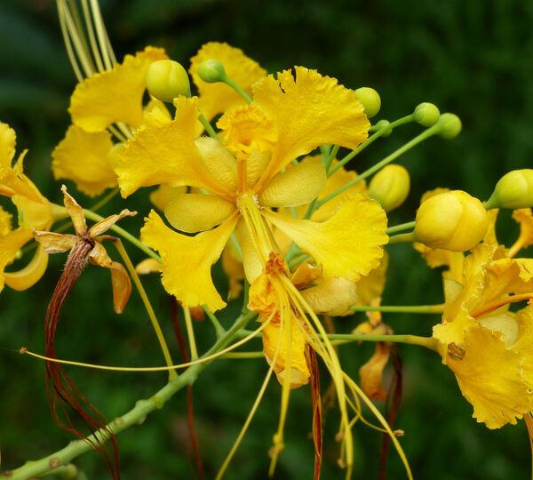 Caesalpinia pubescens (Desf.) Hattink