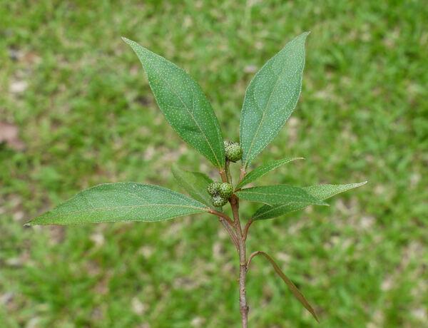 Croton cascarilloides Raeusch.