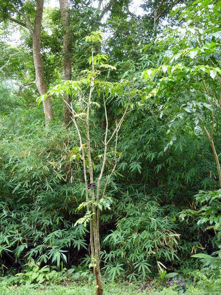 Radermachera hainanensis Merr.