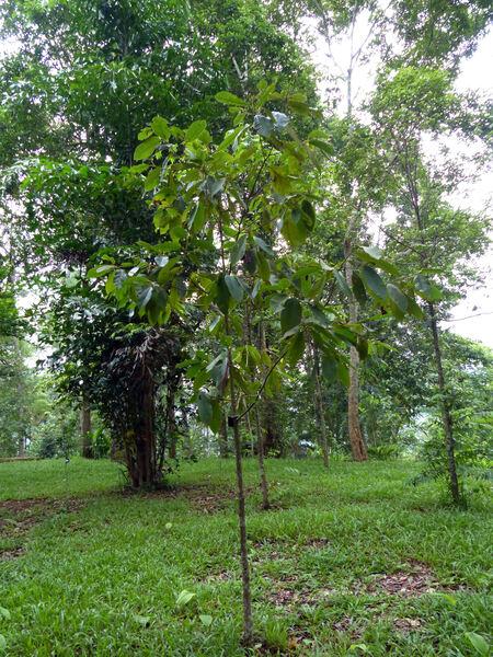Dipterocarpus costatus G. Don