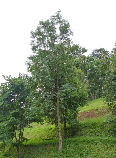 Albizia odoratissima (L.f.) Benth.