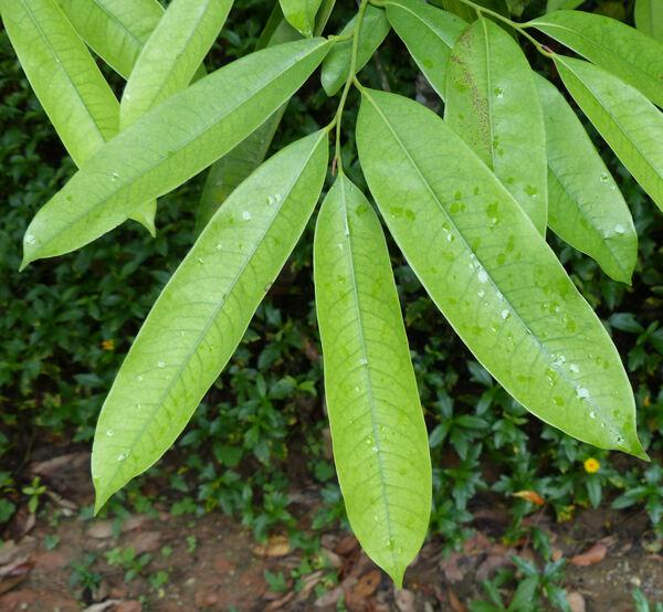 Goniothalamus laoticus (Finet & Gagnep.) Bân