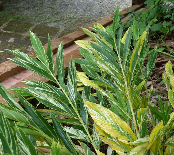 Alpinia vittata W.Bull