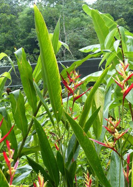 Heliconia indica Lam. 'Spectabilis'