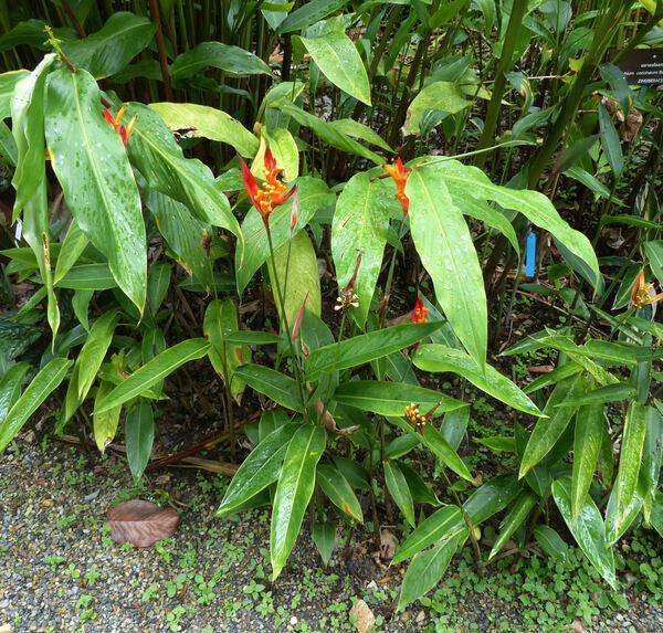 Heliconia indica Lam.