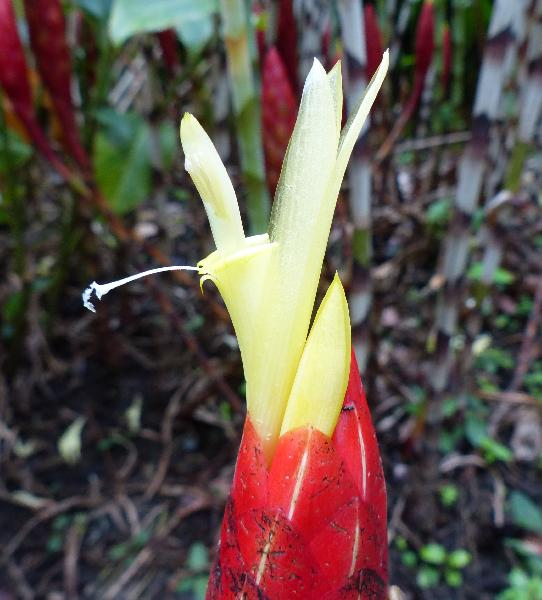 Costus stenophyllus Standl. & L.O. Williams