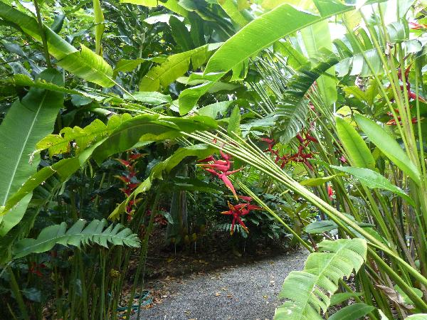 Heliconia 'Sexy Pink'