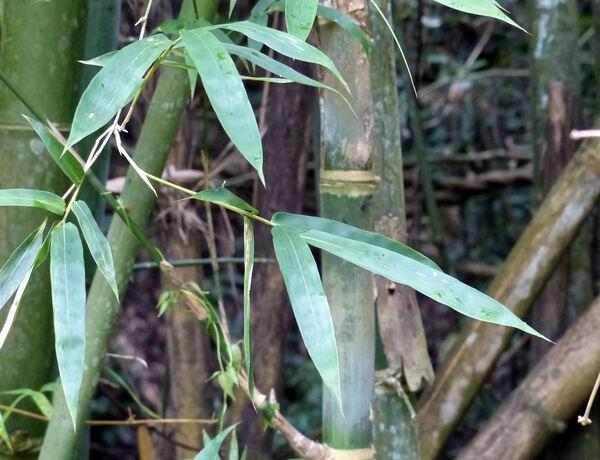 Bambusa bambos (L.) Voss
