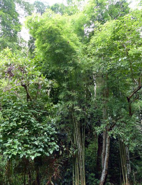 Bambusa multiplex (Lour.) Raeusch. ex Schult. & Schult.f.