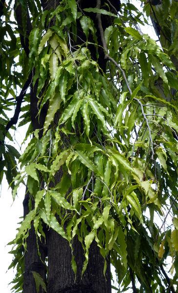 Polyalthia longifolia Sonn.