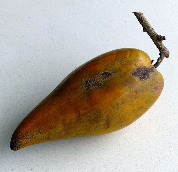 Pouteria campechiana Baehni