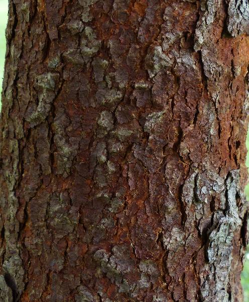 Artocarpus thailandicus C.C. Berg