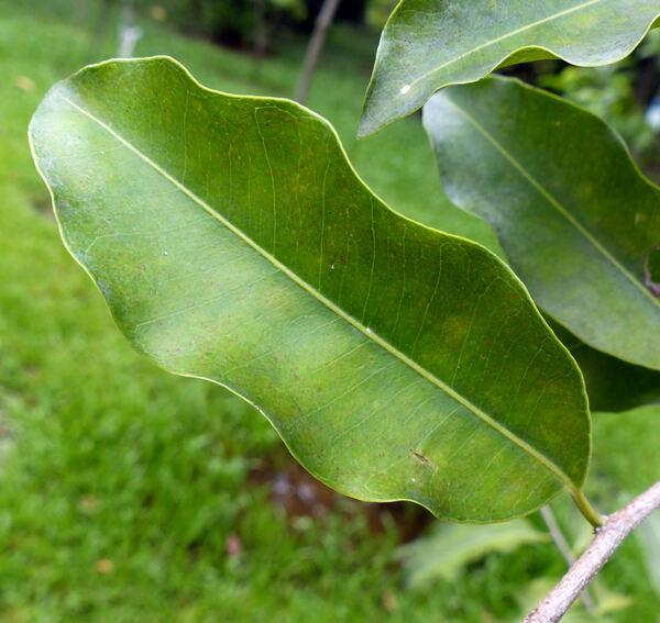 Mimusops elengi L.