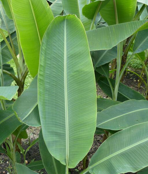 Musa ornata Roxb. 'Variegata'