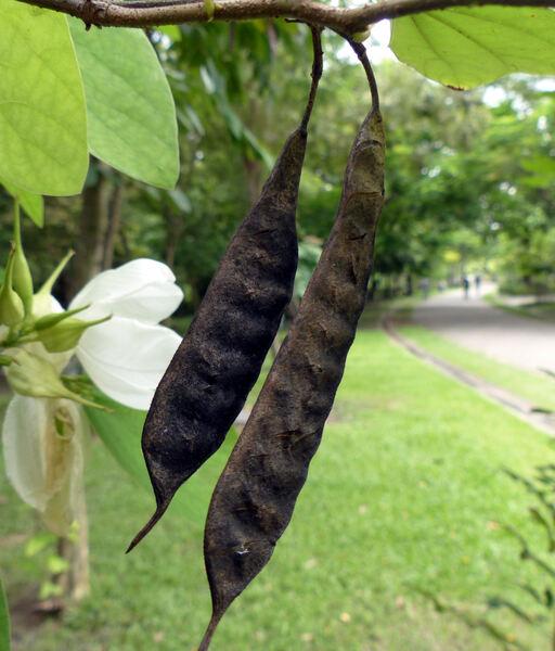 Bauhinia acuminata L.