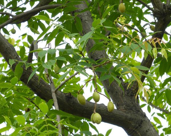 Spondias pinnata (L. f.) Kurz