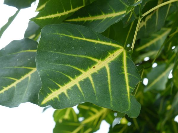 Erythrina variegata L.