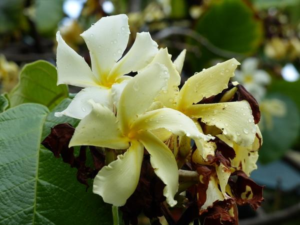 Chonemorpha fragrans (Moon) Alston