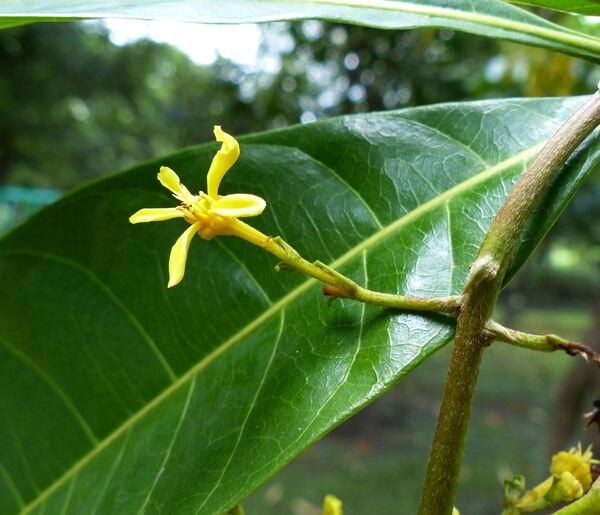 Lophanthera lactescens Ducke