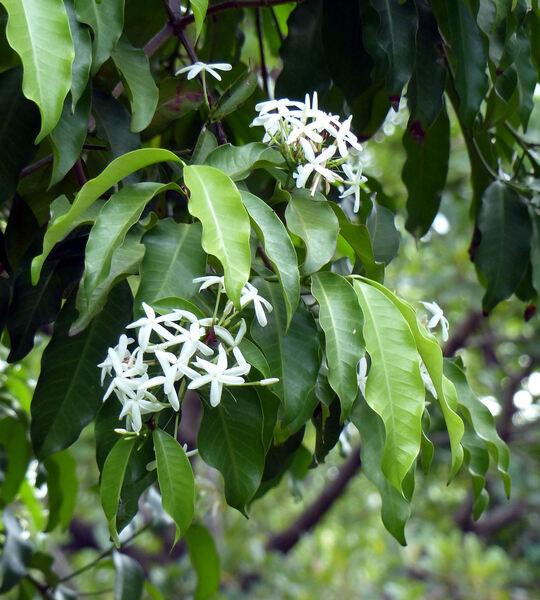 Kopsia arborea Blume
