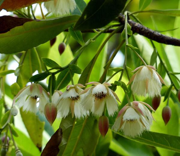Elaeocarpus grandiflorus Sm.