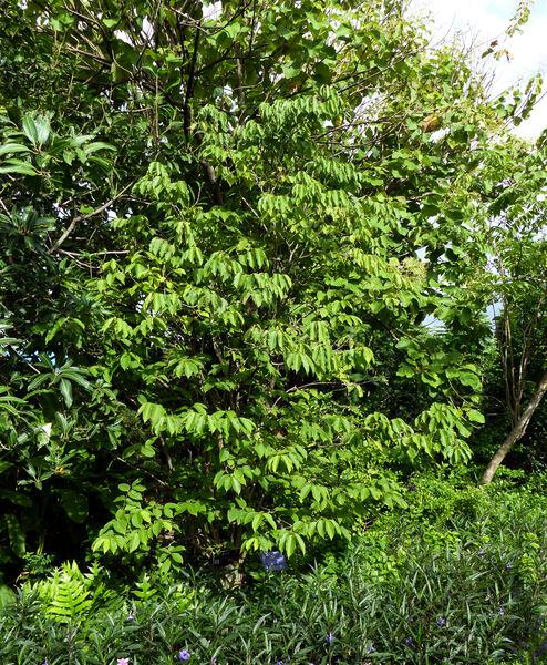 Wrightia sirikitiae D.J.Middleton & Santisuk