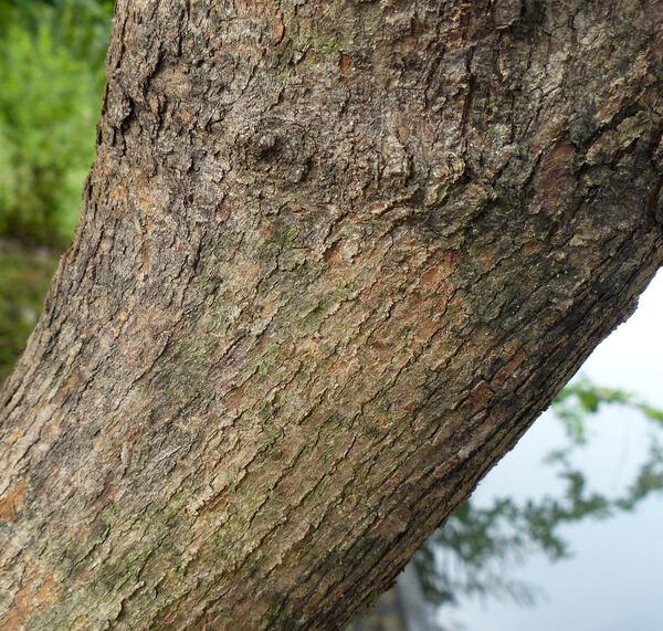 Vitex limonifolia Wall.