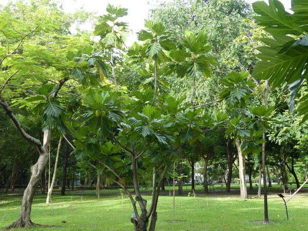 Artocarpus altilis (Parkinson ex F.A. Zorn) Fosberg