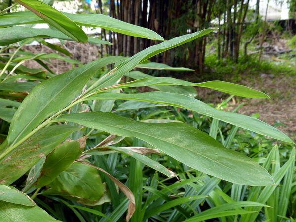 Chimonobambusa sp.
