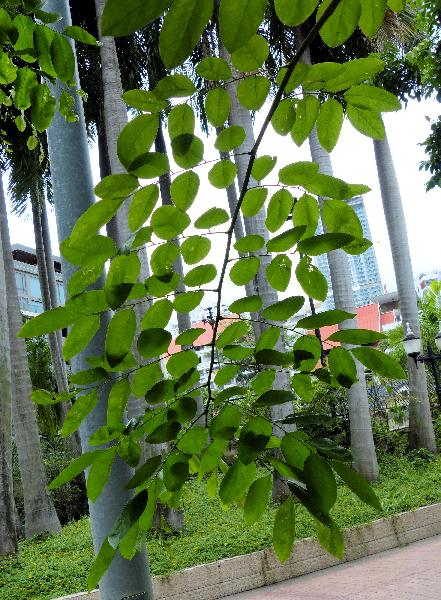 Pterocarpus indicus Willd.