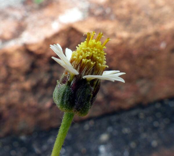 Tridax procumbens (L.) L.
