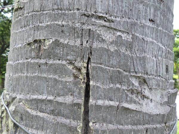Borassus flabellifer L.