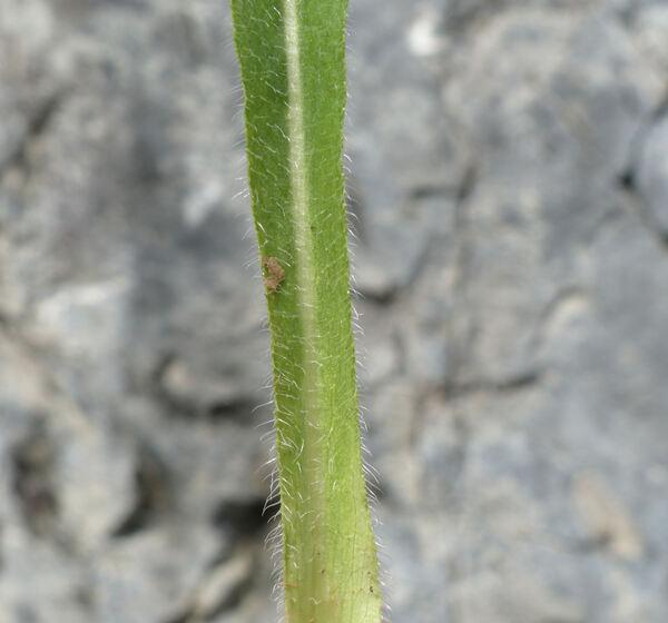 Campanula thyrsoides L. subsp. carniolica (Sünd.) Podlech