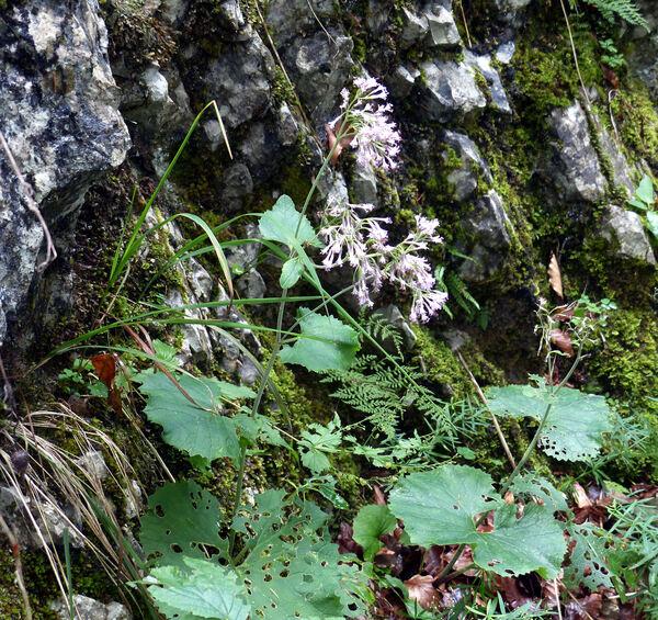 Adenostyles alpina (L.) Bluff & Fingerh.