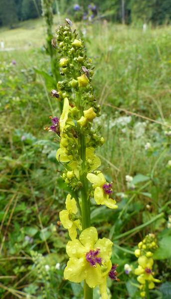 Verbascum alpinum Turra